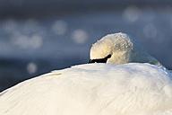 Germany, Hesse, Mute Swan on frozen river - SR000116