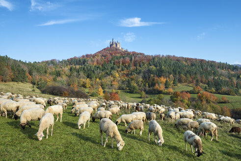 Germany, Baden Wuerttemberg, Flock of sheeps grazing grass, Hohenzollern Castle in background - EL000069