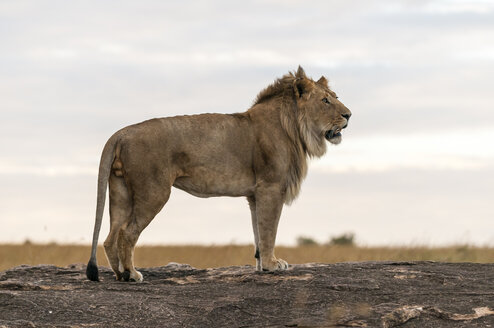 Africa, Kenya, Lion at Maasai Mara National Park - CB000106