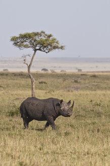 Africa, Kenya, Black rhinoceros in Maasai Mara National Park - CB000104