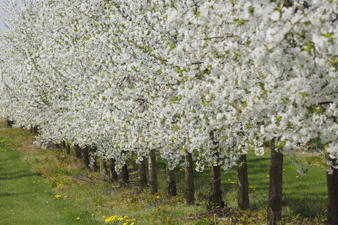 Germany, Bavaria, Row of cherry trees in orchid - RUE000993
