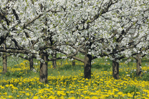 Germany, Bavaria, Row of cherry trees in orchid - RUEF000995