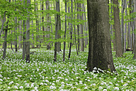 Germany, Thuringia, View of spring forest with Ramsons - RUE001004