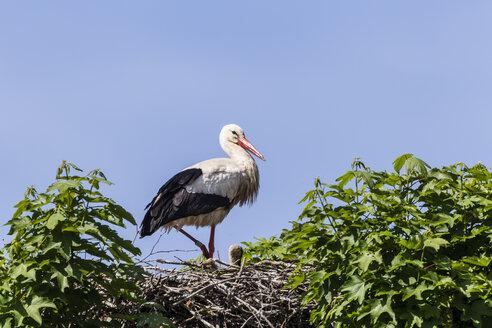 Germany, Hesse, White stork bird perching on nest - SR000149