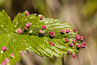 Germany, Hesse, Wild Strawberries on leaf, close up - SR000156