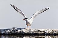 Germany, Schleswig Holstein, Common Tern bird spreading wings - SR000193