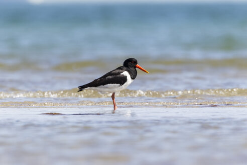 Germany, Schleswig Holstein, Oystercatcher bird - SR000199