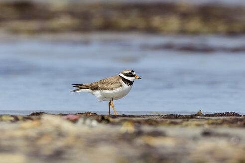 Germany, Schleswig Holstein, Ringed Plover bird perching - SR000200