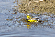 Germany, Schleswig Holstein, Yellow Wagtail bird perching in water - SR000169