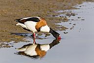 Germany, Schleswig Holstein, Shelduck bird perching in water - SR000208