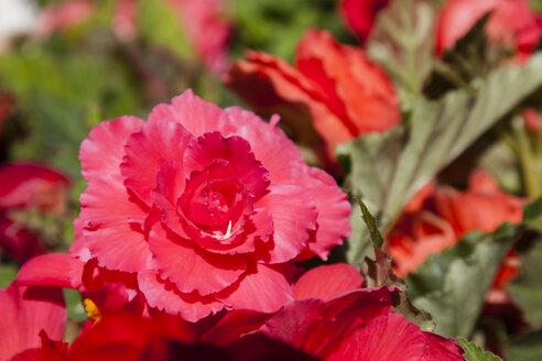 Germany, Hesse, Mannheim, Tuberous begonias flower, close up - SR000113