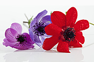 Waterdrops on anemone flower on white background, close up - CSF019222
