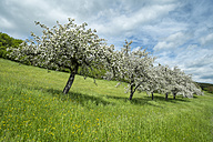 Germany, Baden Wuerttemberg, View  of meadow with scattered flowing plum trees in spring - ELF000158
