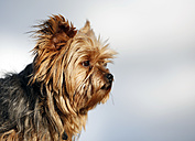 Germany, Baden Wuerttemberg, Yorkshire Terrier dog, close up - SLF000109