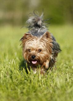 Germany, Baden Wuerttemberg, Yorkshire Terrier dog running on grass - SLF000114