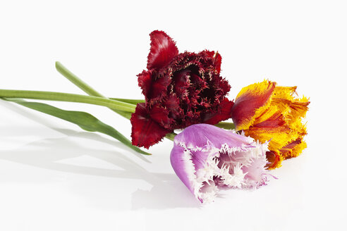 Fringed tulip flowers on white background, close up - CSF019301