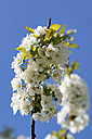 Germany, Cherry blossoms flower, close up - HOH000163