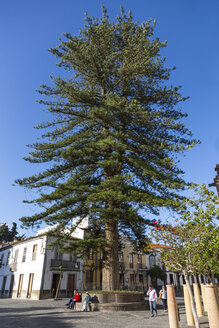 Spain, Canary Island, Pine tree - MAB000055