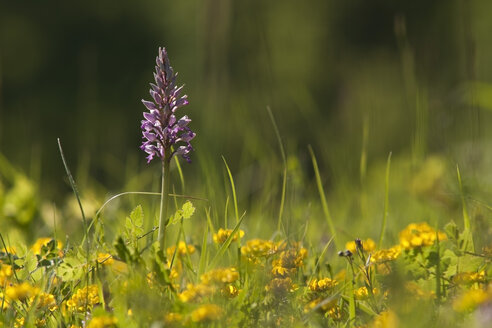 Germany, Baden Wuerttemberg, Military orchid, close up - BST000072