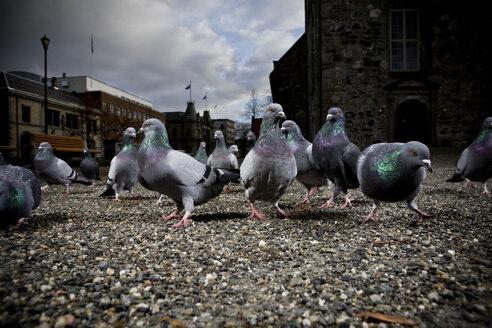 Norway, Trondheim, Pigeons - CNF000001