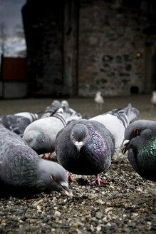 Norway, Trondheim, Pigeons - CNF000003