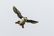 England, Northumberland, View of Puffins flying - SR000268