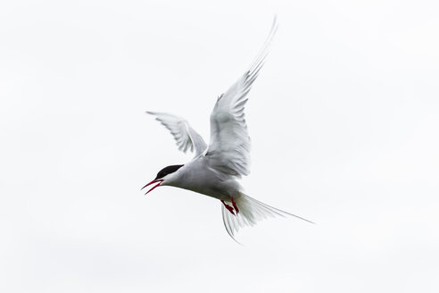 England, Northumberland, View of Arctic Tern flying - SR000266