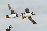 England, Northumberland, Puffins flying against sky - SR000263