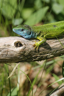 Austria, Western Green Lizard in Thayatal National Park - GFF000007
