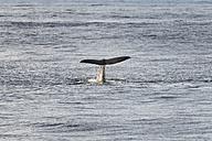 Norway, Sperm whale in Atlantic Ocean - HWO000016
