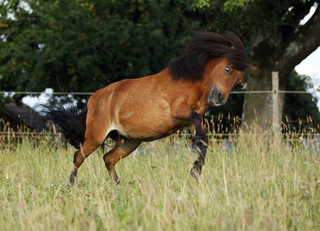 Germany, Baden Wuerttemberg, Shetland pony bucking on grass - SLF000170