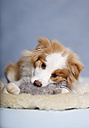 Border Collie dog sitting on carpet with soft toy - SLF000162