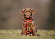 Portrait of labrador puppy with red dog harness sitting on a meadow - SLF000349