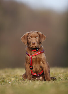 Portrait of labrador puppy with red dog harness sitting on a meadow - SLF000353