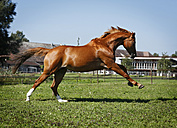 Germany, Baden Wuerttemberg, Constance, View of Trakehner mare bucking in meadow - SLF000152