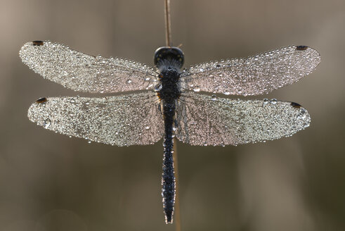 Denmark, Dragonfly, close up - HWOF000047