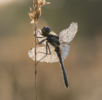 Denmark, Dragonfly, close up - HWOF000046