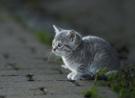 Germany, Baden Wuerttemberg, Kitten sitting on street, close up - SLF000223