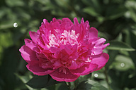 Germany, Peony flower, close up - JTF000442