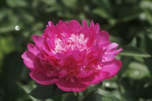 Germany, Peony flower, close up - JTF000442