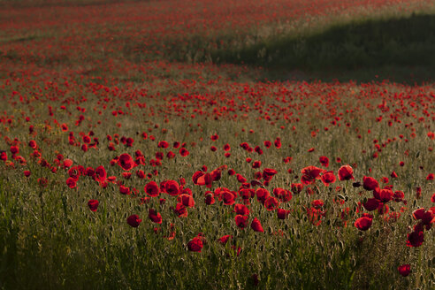 Germany, Baden Wuerttemberg, View of poppies in field - BSTF000088