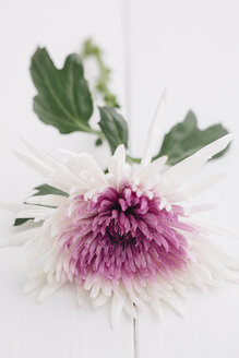 Aster flower on wooden table, close up - ECF000216