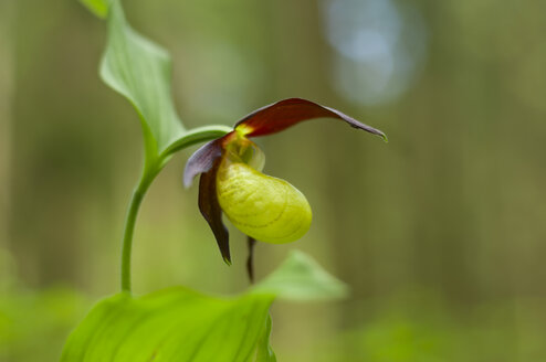 Cypripedium Calceolus flower in black forest - JOKF000024