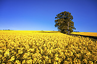 Scotland, View of  Rapeseed field - SMAF000126