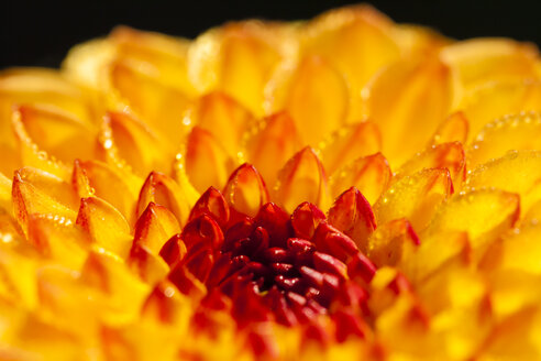 Germany, Hesse, Dahlia flower, close up - SR000280