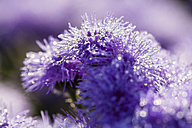 Germany, Hesse, Water drops on Ageratum flowers, close up - SR000282