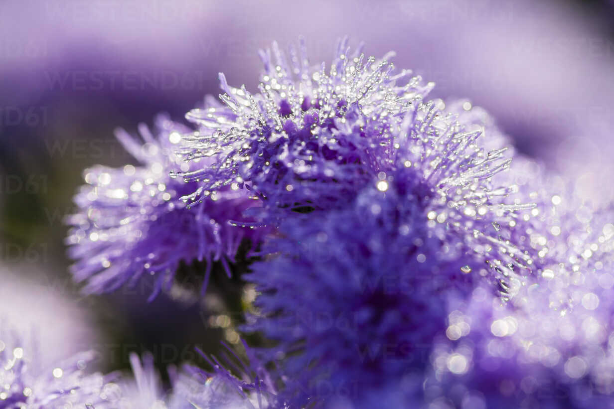 Germany, Hesse, Water drops on Ageratum flowers, close up - SR000282 - Stephan Rech/Westend61