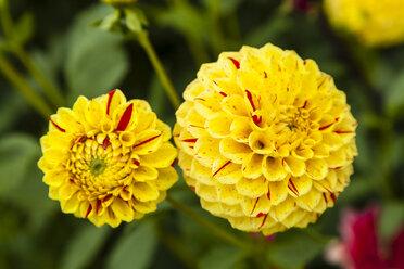 Germany, Hesse, Dahlia flowers, close up - SR000286