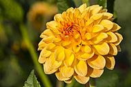 Germany, Hesse, Dahlia flower head, close up - SR000287
