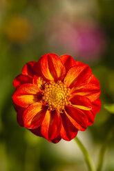 Germany, Hesse, Dahlia flower head, close up - SR000294